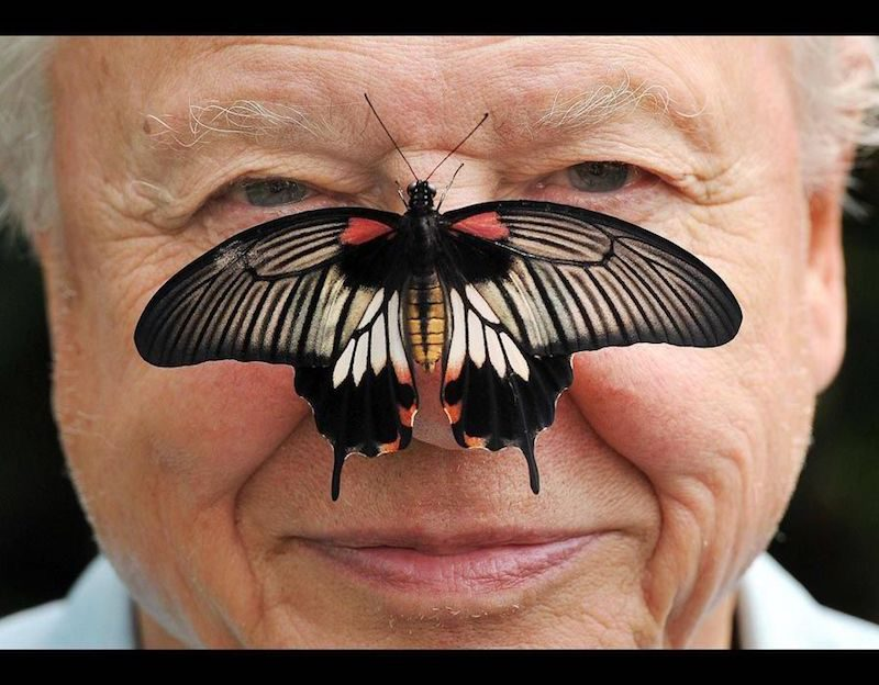 Sir David pictured with a Great Mormon Butterfly on his nose at the launch of the Big Butterly count at London Zoo (Press Association)