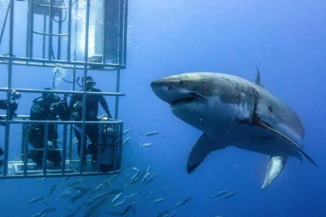great white shark diving in cage