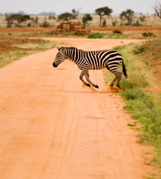 safari-zebra