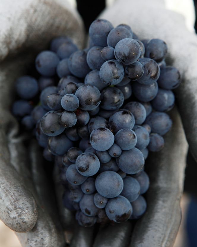 louis roederer grapes